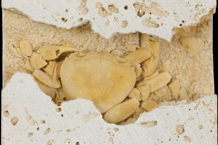 "2.1"" Fossil Crab (Potamon) Preserved in Travertine - Turkey"
