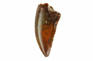 "Buy Serrated, .76"" Raptor Tooth - Real Dinosaur Tooth - #144643"