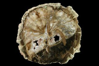 "Buy 9"" Polished Petrified Wood (Woodworthia) Round - Zimbabwe - #145285"