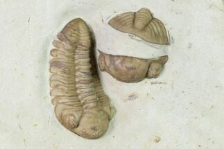 "Buy 1.45"" Kainops Trilobite With Enrolled Lochovella - Oklahoma - #144811"