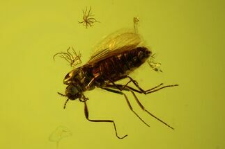 Buy Fossil Fly (Diptera) In Baltic Amber - #145477