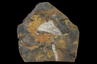 Ginkgo adiantoides - Fossils For Sale - #145317