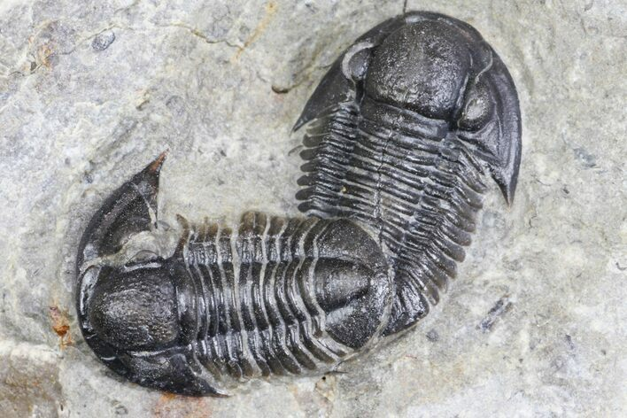 Two Detailed Gerastos Trilobite Fossils - Morocco