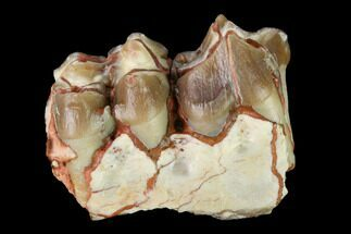 "Buy 1.1"" Oreodont (Merycoidodon) Jaw Section - South Dakota - #146167"
