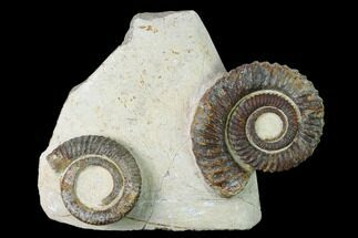 Buy Two Devonian Ammonites (Anetoceras) Fossils - Tazarine, Morocco - #146920