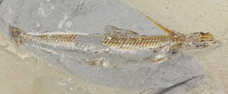 Prionolepis sp. - Fossils For Sale - #147171