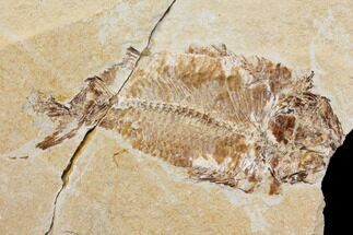 Nematonotus - Fossils For Sale - #147237