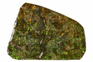 "2.1"" Iridescent Ammolite (Fossil Ammonite Shell) - Alberta, Canada For Sale, #147470"