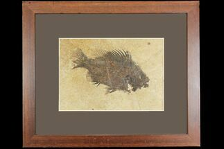 "5.1"" Framed Fossil Fish (Cockerellites) - Wyoming For Sale, #147188"