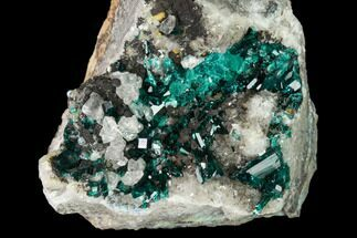 "Buy 2.2"" Pristine Dioptase Crystals on Quartz - Kimbedi, Congo - #148471"