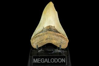 "4.64"" Serrated, Fossil Megalodon Tooth - North Carolina For Sale, #147479"