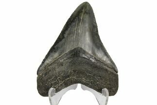 "Serrated, 3.01"" Fossil Megalodon Tooth - South Carolina For Sale, #149156"