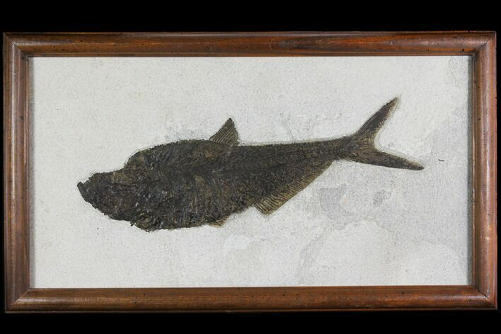 "13.2"" Framed Fossil Fish (Diplomystus) - Wyoming"