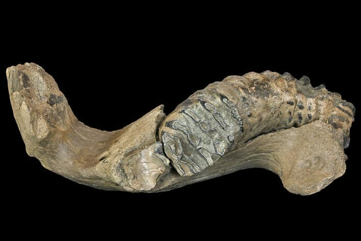 "17"" Southern Mammoth Partial Mandible with M3 Molar - Hungary"