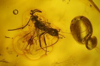 Fossil Winged Ant (Formicidae) & Fly (Diptera) In Baltic Amber For Sale, #150710