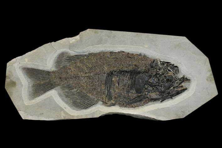 "Huge, 24"" Fossil Fish (Phareodus) - Check Out The Teeth!"