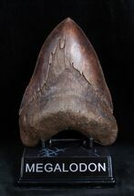 Carcharocles megalodon, Big Satilla River, Georgia, 5.76 Inches, #1656