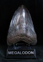 Fossil Megalodon Teeth For Sale
