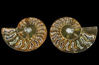 Cleoniceras - Fossils For Sale - #145986