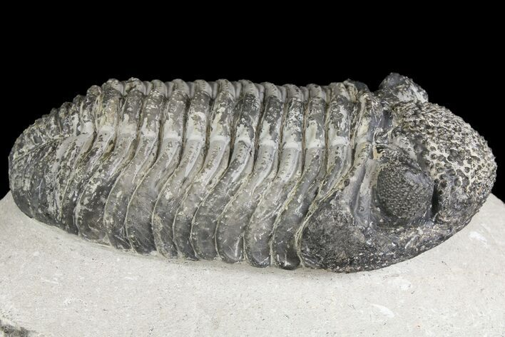 "5.15"" Drotops Trilobite With White Patina - Great Eyes!"