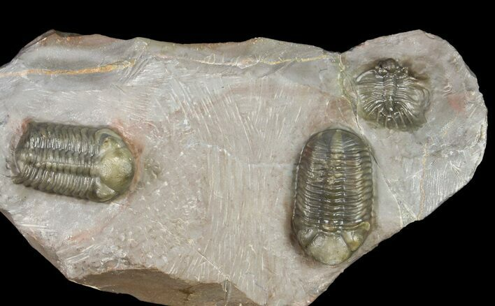 Two Austerops Trilobites With Belenopyge-Like Lichid - Jorf