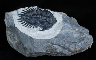 Saharops Bensaidi Trilobite For Sale, #1706