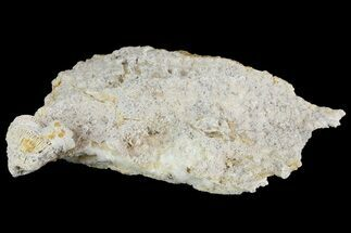 "Buy 5.2"" Fossil Coral Colonies (Thamnasteria & Thecosmilia) - Germany - #157330"
