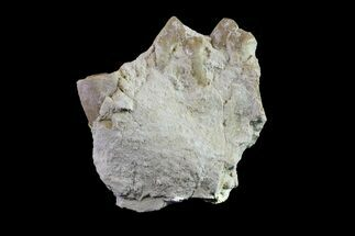 "1.6"" Oreodont (Merycoidodon) Jaw Section - South Dakota For Sale, #157370"