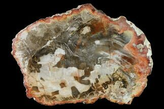 "9.9"" Petrified Wood (Araucaria) Round - Madagascar  For Sale, #157784"