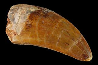"1.85"" Serrated, Carcharodontosaurus Tooth - Real Dinosaur Tooth For Sale, #156902"