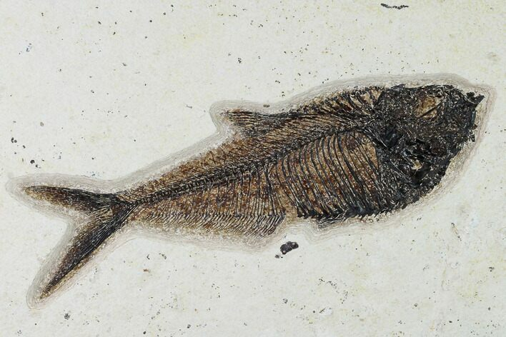 "8.9"" Fossil Fish (Diplomystus) - Wyoming"