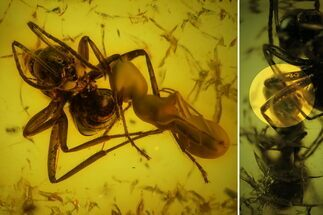 Two Fighting Fossil Ants (Formicidae) in Baltic Amber For Sale, #159815