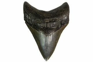 "Buy Serrated, 4.66"" Fossil Megalodon Tooth - Georgia - #159730"