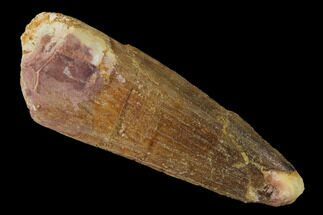 "2.14"" Spinosaurus Tooth - Real Dinosaur Tooth For Sale, #160121"