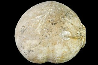 "1.65"" Cretaceous Sea Urchin (Palhemiaster) Fossil - Texas For Sale, #156374"