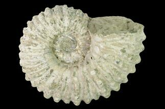 "4.5"" Bumpy Ammonite (Douvilleiceras) Fossil - Madagascar For Sale, #160373"