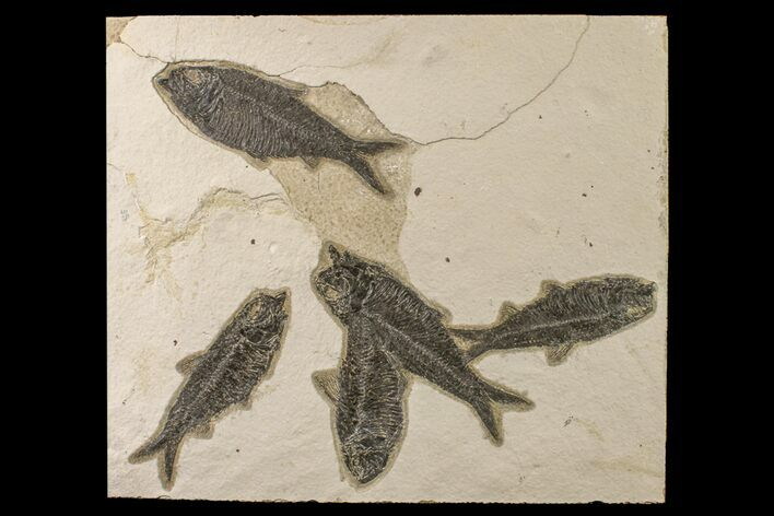 "10.4"" Shale With Five, Large Fossil Fish (Knightia) - Wyoming"