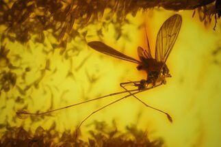 Detailed Fossil Cranefly and Fly in Baltic Amber For Sale, #163484