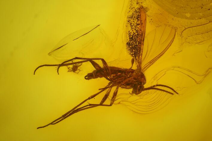 Fossil Fly (Diptera) and a Mite (Acari) in Baltic Amber