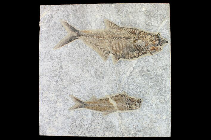 "9.3"" Fossil Fish (Diplomystus) With Large Knightia - Wyoming"