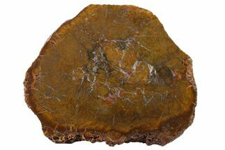 "Buy 6"" Triassic Petrified Wood (Conifer) Round - India - #163714"