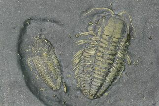 Buy Two Pyritized Triarthrus Trilobites With Appendages - New York - #164299