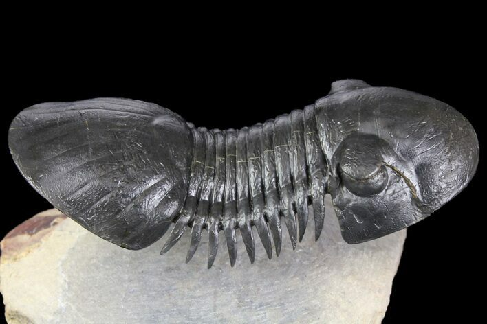 "3.1"" Paralejurus Trilobite Fossil - Spectacular Preparation"