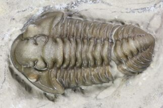 Inflated Calymene knowlani Trilobite - Quebec For Sale, #164444