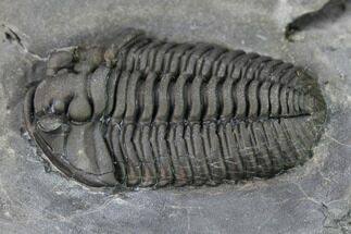 ".72"" Flexicalymene Trilobite - LaPrairie, Quebec For Sale, #164360"