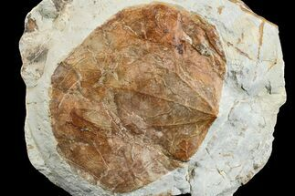 Zizyphoides flabellum - Fossils For Sale - #165033