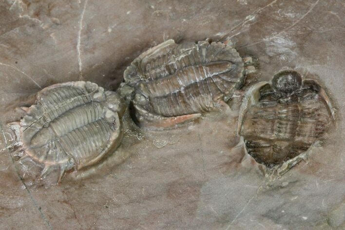 Cluster of Beautiful Basseiarges Trilobites - Jorf, Morocco