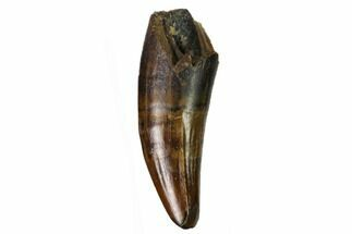 ".69"" Fossil Crocodilian Tooth - Judith River Formation For Sale, #164648"