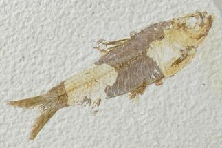 "Buy 3.8"" Detailed Fossil Fish (Knightia) - Wyoming - #165826"