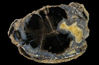 "6.4"" Petrified Wood (Schinoxylon) Slab - Blue Forest, Wyoming For Sale, #166055"